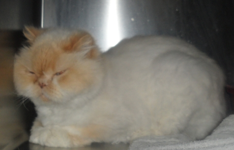 Brilliant Individuals Who Own A Persian Cat For The Purpose Of Showing The Animal Will Want To Consider The Idea Of Homegrooming Very Carefully Even The Best Trimmer For Persian Cat Hair Will Yield Unsightly Results When A Pet Owner Doesnt Quite